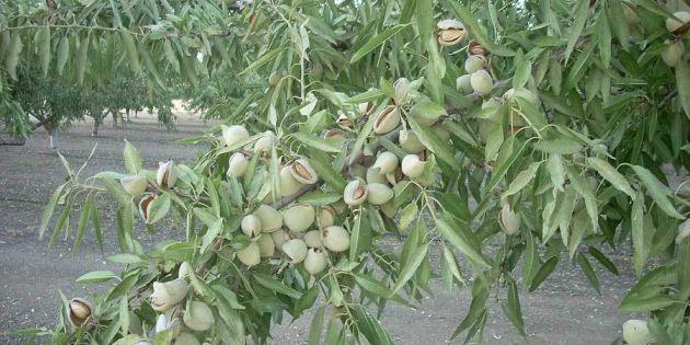 شجرة اللوز