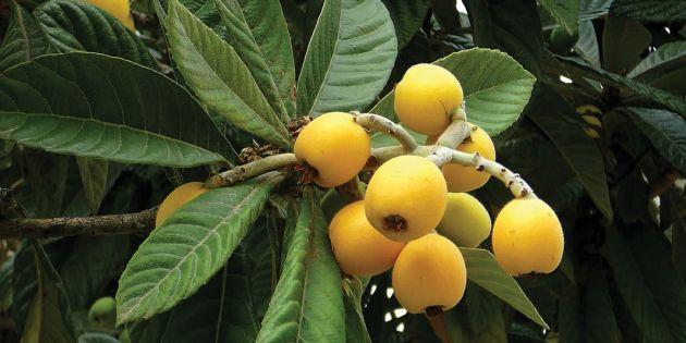 فاكهة الأسبولي