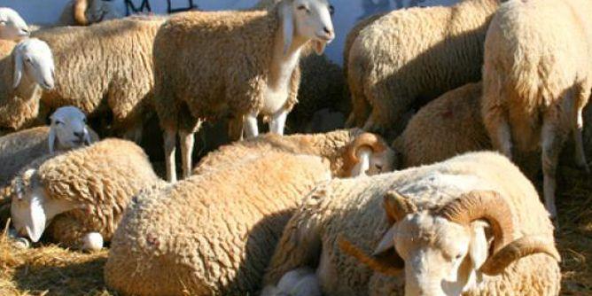 سوق علالش - خروف - خرفان - كبش - علوش